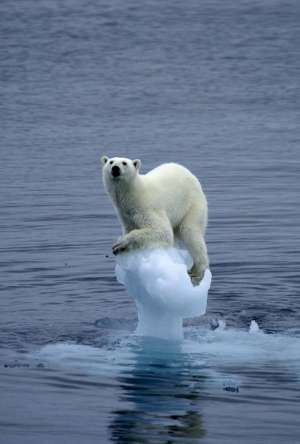 polar bear falling through ice