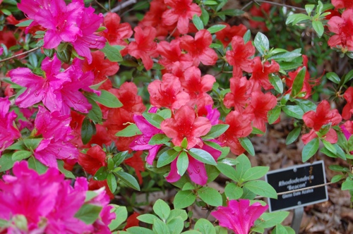 Pink and Red Azaleas