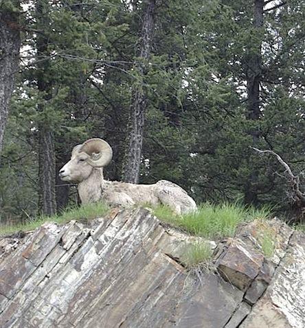 Bighorn Sheep alaska