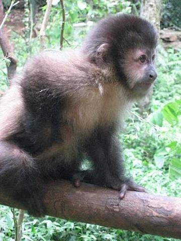 Iguazu Falls Capuchin monkey