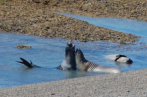 Peninsula Valdes Female sea lions playing in the water