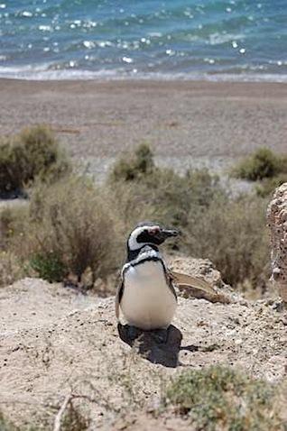 Peninsula Valdes Waving penguin