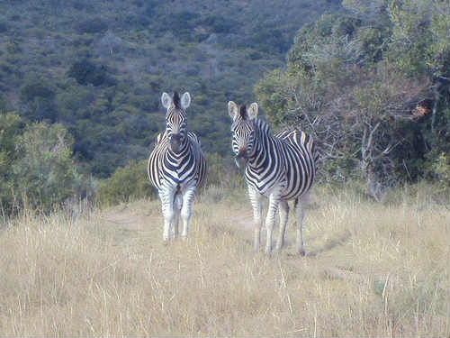 2 zebras in a forest