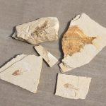 Fossil Safari fossils we found